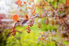 Blooming Berberis ottawensis, deciduous and evergreen shrub. Bright yellow fl Stock Photos