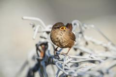 Fair Isle wren (troglodytes troglodytes fridariensis) on metal fence, Fair Isle, - stock photo