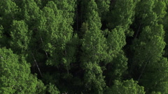 Aerial view looking down at aspen tree tops Stock Footage