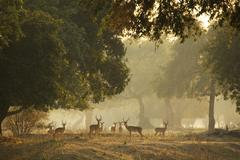 Group of Impala (Aepyceros melampus), Mana Pools National Park, Zimbabwe - stock photo