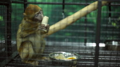 Funny monkey at the zoo - stock footage