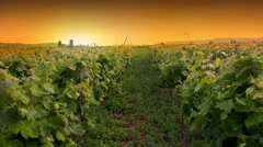 Moving through vineyard agriculture field at sunset pov, point of view cinema Stock Footage