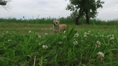 Close up of chihuahua walking on the grass at park Stock Footage