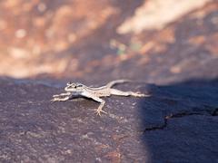 Lizard on Rock, Augrabies Falls National Park, South Africa, Stock Photos