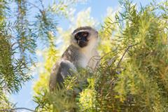 Monkey in the Treetop, Augrabies Falls National Park, South Africa Stock Photos