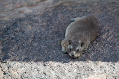 Hyrax (Procavia capensis) also known as the Dassie, Augrabies Falls National - stock photo