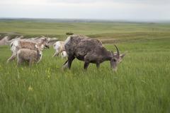Bighorn sheep ewes and lambs grazing in Badlands National Park, South Dakota Stock Photos