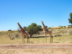 Two giraffes in the National Park, Kgalagadi Transfrontier Park, South Africa Stock Photos