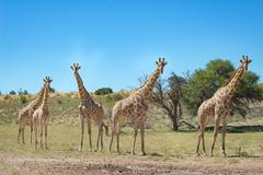 Giraffes in the Kgalagadi Transfrontier Park, Kgalagadi Transfrontier Park, - stock photo