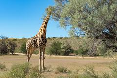 Giraffe eating leaves from the tree, Kgalagadi Transfrontier Park, South Africa Stock Photos