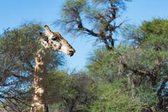 Giraffe in the treetop, Kgalagadi Transfrontier Park, South Africa - stock photo