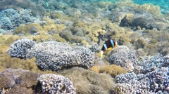 Clownfish aggressively defending their anemone - stock footage