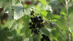 Ripe black berries - stock footage