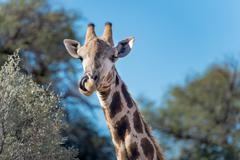 Giraffe licking its mouth, Kgalagadi Transfrontier Park, South Africa Stock Photos