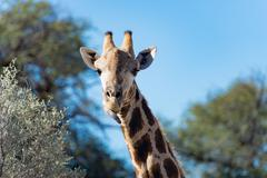 Giraffe licking its mouth, Kgalagadi Transfrontier Park, South Africa - stock photo