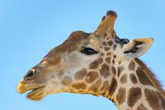 Giraffe under blue sky, giraffe head in detail, Kgalagadi Transfrontier Park, Stock Photos