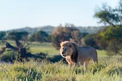 Lion in the National Park, Kgalagadi Transfrontier Park, South Africa Stock Photos