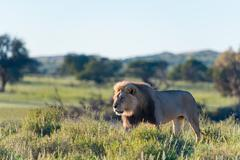 Lion in the National Park, Kgalagadi Transfrontier Park, South Africa - stock photo