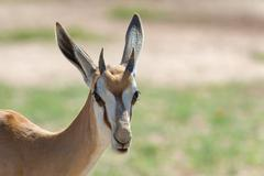 Springbok in the wild, Kgalagadi Transfrontier Park, South Africa - stock photo