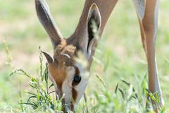 Springbok when eating grass, Kgalagadi Transfrontier Park, South Africa - stock photo