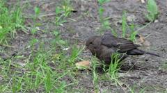 thrush bird on the ground - stock footage