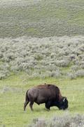 American bison (buffalo) grazing in Yellowstone National Park, Wyoming, USA Kuvituskuvat