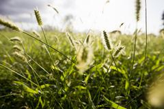 Close up of sunlit long grasses in field - stock photo