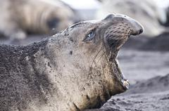 Side view of northern elephant seal calling on beach at Guadalupe Island, Mexico - stock photo