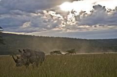 Rhino amongst long grass at dusk, Lake Nakuru, Kenya Stock Photos