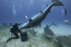 Underwater view of diver holding upside down tiger shark, Northern Bahamas Kuvituskuvat