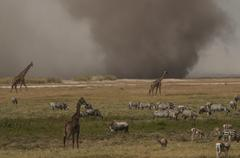Zebras and giraffes grazing while dust storm on plain horizon, Masai Mara, Kenya - stock photo