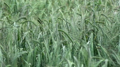 Detail of green wheat ears in development phase swing on wind, Cinematic back Stock Footage