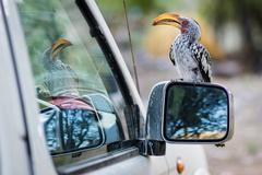 Toko sitting on side mirror of the car, Namibia, in Khowarib Lodge - stock photo