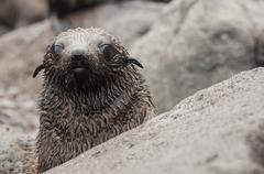 Guadalupe fur seal pup behind rock looking at camera, Guadalupe Island, Baja Stock Photos