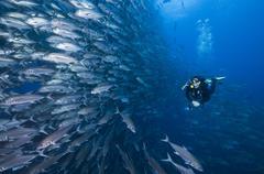 Scuba diver swimming past wall of Jacks, Cocos Island, Costa Rica - stock photo