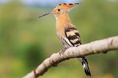 Hoopoe image for Identification Stock Photos