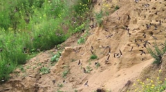 Pack sand martins flying in circles Stock Footage