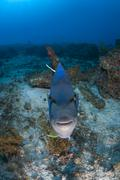 Queen angelfish challenging its own reflection on camera, Cabo Catoche, Quintana - stock photo