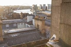 Black-legged Kittiwake (Rissa tridactyla) on ledge of building, Newcastle upon - stock photo