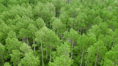 Aerial panning view of aspen trees in forest. Stock Footage