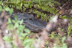 Alligator, Everglades National Park, Florida, USA Stock Photos