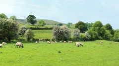 Peak District, England. Flock of sheep on pasture among the green hills. 4K pan. Stock Footage