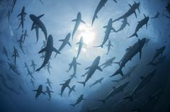Underwater silhouetted view of silky sharks gathering in spring for mating - stock photo