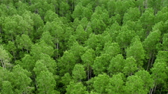Aerial panning view of aspen tree forest. Stock Footage