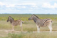 Zebra mother with child, Plains Zebra (Equus quagga) or horse Zebra, Etosha - stock photo