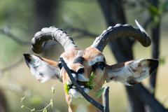 Black Faced Impala when eating, Black Faced Impala (Aepyceros), Etosha National - stock photo