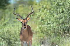 Black Faced Impala, Black Faced Impala (Aepyceros), Etosha National Park Namibia - stock photo