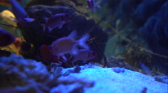 The red fish play hide-and-seek with lobster Stock Footage