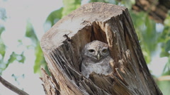 Bird, Spotted Owlet (Athene Brama) in tree hollow the nature Stock Footage