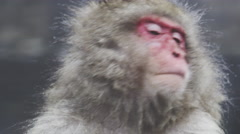 Close up of a Snow Monkey taking a bath Stock Footage
